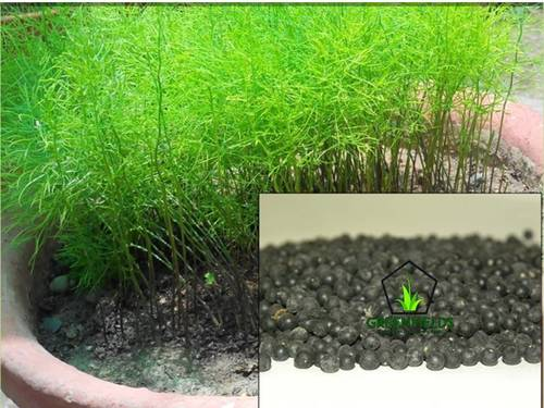Shatavari Plant ( Asparagus racemosus )