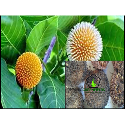 Kadam Ornamental Seeds (Anthocephalus Cadamba)