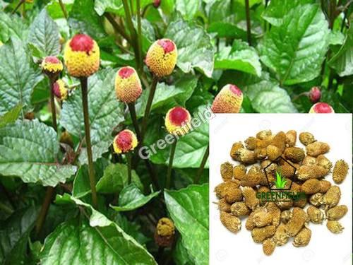 Yellow Akarkara Medicinal Seeds ( Acmella Oleracea)