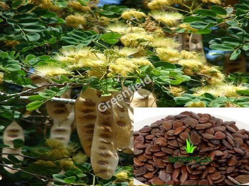Black Sirus Seeds (Albezia Lebbek)