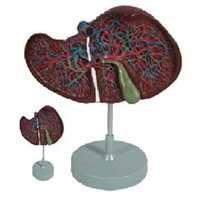 Liver Model ( BEP-312 )