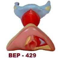Female Internal & External Genital Organs