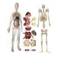 Transparent Human Skeleton With Organs Model