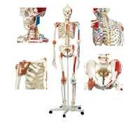 Human Skeleton With Ligaments BEP-101-A