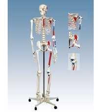 Model Of Human Skeleton 170 Cm ( BEP-101-B )
