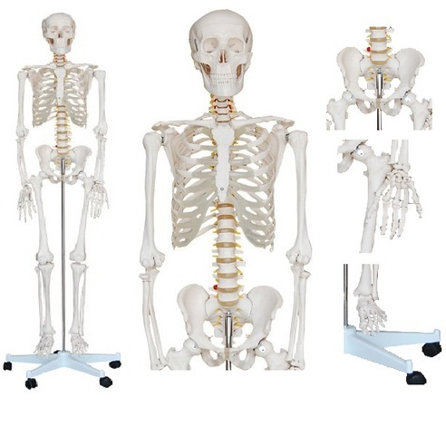 Human Skeleton Models