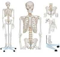Model Of Human Skeleton ( BEP-101 )