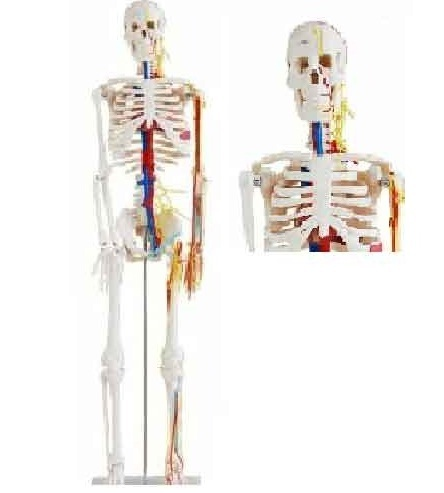 Human Skeleton Models