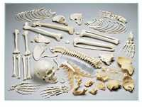 Disarticulated Skeleton With Skull ( BEP-130 )