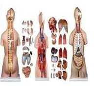 Human Male And Female Torso Tall 85 CMS  BEP-204