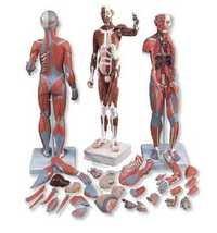 Full Size Human Body Showing Muscle & Organ
