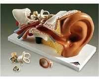 Human Ear Model ( BEP-303-2 )