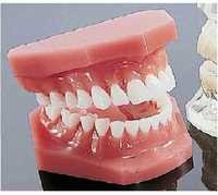 Dental Model ( BEP-002 )