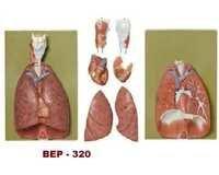 Larynx, Heart Lungs Model ( BEP-320 )