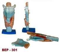 Magnified Human Larynx Model ( BEP-301)