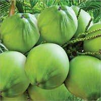 Fresh Organic Coconuts