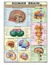 HP16S-Human Brain Model