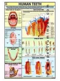 HP17S-Human Teeth Charts