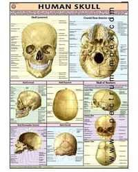 HP21S-Human Skull