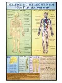Skeleton & Circulatory System Charts