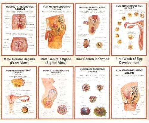 Reproductive Organs 3D Charts