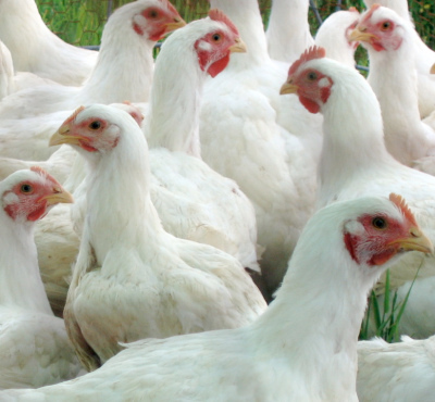 Broiler Poultry Concentrate 2.5%