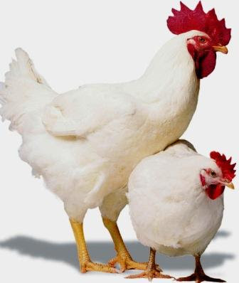 Broiler Poultry Concentrate