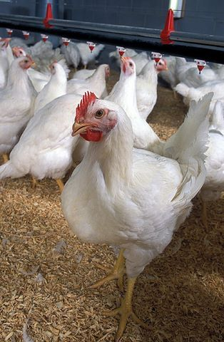 Broiler Poultry Concentrates 30%
