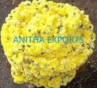 Tied Yellow Samanthi