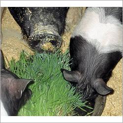 Hydroponic Pig Feed Equipments