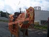 Indian Wedding Horse Decors