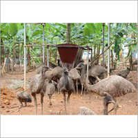 Emu Birds Feeding