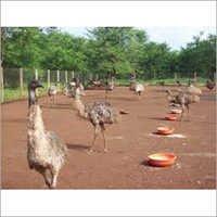 Australian EMU Birds