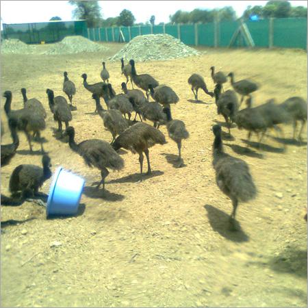 EMU Flocks