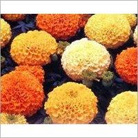 Marigold Flakes