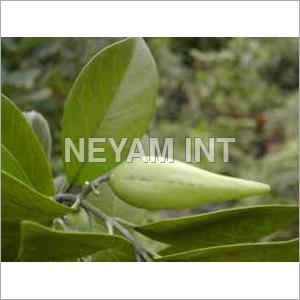 Gymnema Plant