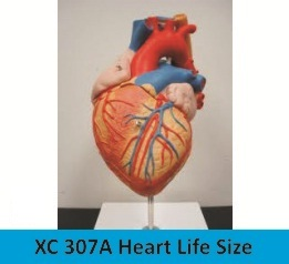 Heart Life Size