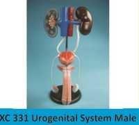 Urogenital System Male