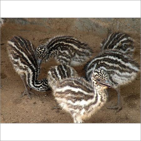 EMU Bird Chicks