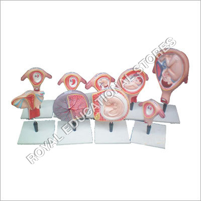 Human Embryo Model - Set of 9