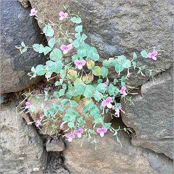 Evolvulus Alsinoides Leaves