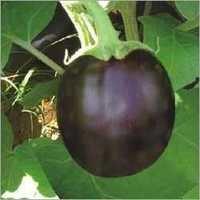 Brinjal Plant Seeds