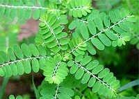Bhumi Amla Leaves