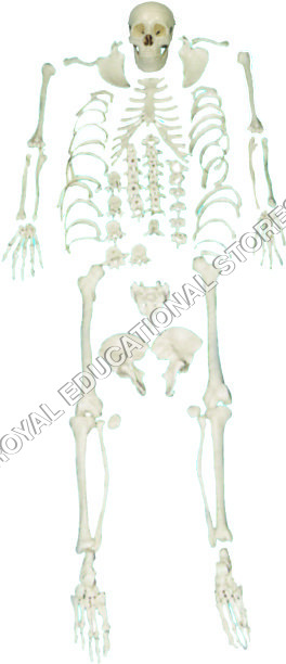 SKELETON-DISARTICULATED