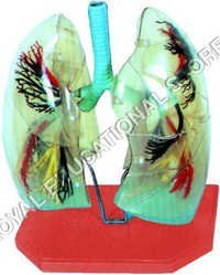 TRANSPARENT LUNGS MODEL