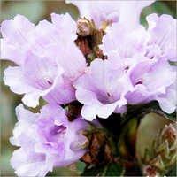 kurinji flower
