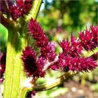 Fresh Amarantus