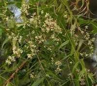 Neem Varnacular Names Seeds And Leaves