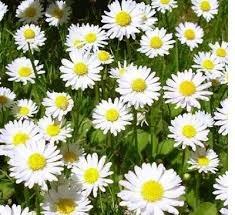 Chamomile Flower, Tincture