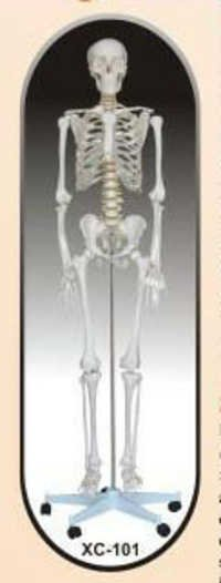 HUMAN SKELETON LIFE SIZE (TALL 180)